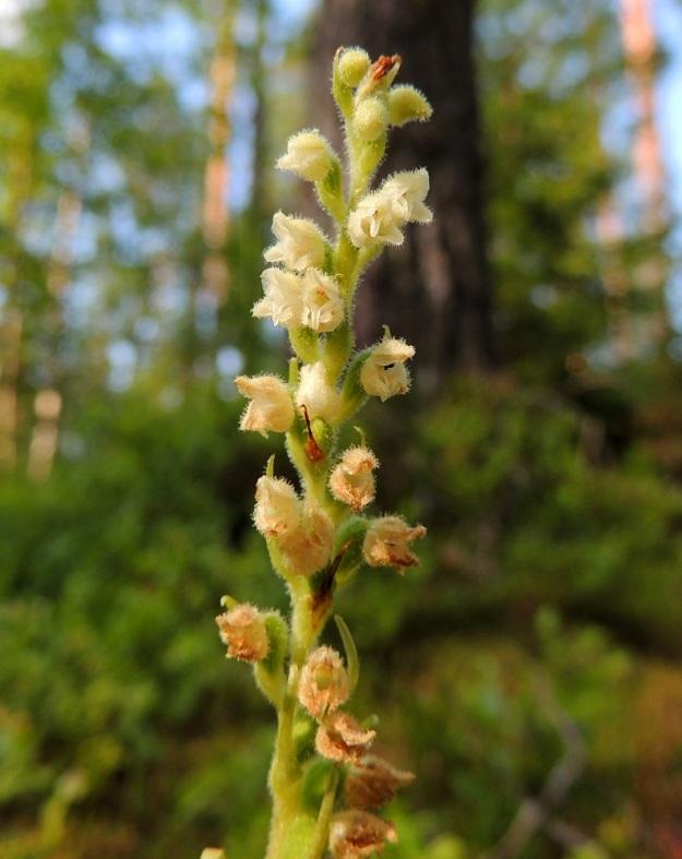 Goodyera repens - yövilkan, havuyövilkan kukinta etenee alhaalta ylöspäin niin, että alemmat kukat jo lakastuvat, kun ylemmät ovat vielä nupussa. Myös pölyttäjäkimalaiset kiertävät tähkissä sitä mukaa, kun kukat avautuvat. Alemmat kukat ovat jo kehittymässä kotavaiheeseen. Sen sijaan latvaosassa keskellä näkyvä kukka on menettänyt ainakin siitepölymyhkynsä, koska sen huuli on laskeutunut alas ja paljastanut luottipinnat. Sen yläpuolella, oikealla näkyvät kukat ovat vielä pölyttämättömiä, koska kukan nielu on ahdas. EH, Hämeenlinna, Loimalahti, Alajärven pohjoispuolella oleva Sammonmäki, 24.7.2014. Copyright Hannu Kämäräinen.