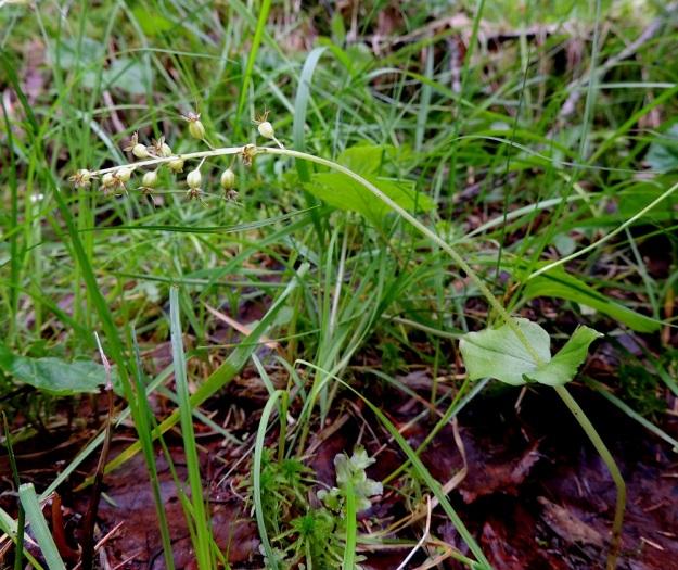 Neottia cordata (Listera cordata) - herttakaksikon kukintotähkä on tavallisesti 2-6 cm pitkä ja siinä on yleensä 5-15 kukkaa. Kn, Puolanka, Väyrylä, Pahajärven eteläpuolella oleva luonnonsuojelualue, puronvarsikosteikko, 12.7.2015. Copyright Hannu Kämäräinen.
