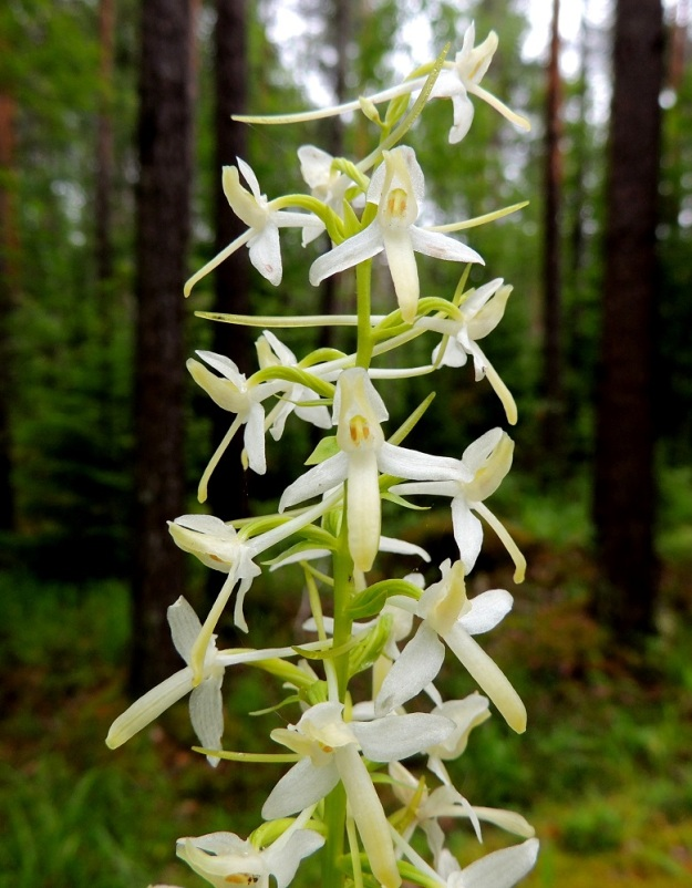 Platanthera bifolia subsp. latiflora - valkolehdokki subsp. pohjanvalkolehdokki on läheinen laji keltalehdokille, P. chlorantha. Valkolehdokilla ponnenpuolikkaat ja siitepölymyhkyt ovat kukassa aivan rinnakkain ja samansuuntaisesti, kun ne keltalehdokilla ovat leveässä haara-asennossa ja usein aika kaukana toisistaan. Valkolehdokin kannus on hyvin ohut ja 25-40 mm pitkä. Keltalehdokilla kannus on paksumpi ja tylpempi sekä noin 20 mm pitkä. Nämä kukkatuntomerkkien erot viittaavat eri pölyttäjälajeihin. Siitepölymyhkyjen suuntaa ja kannuksen pituutta on syytä tosin tiirailla vain Ahvenanmaalla ja Lounais-Suomessa, joissa molempia lajeja esiintyy. ES, Lappeenranta, Mattila, Mattilankangas, kangasmetsä, 8.7.2015. Copyright Hannu Kämäräinen.