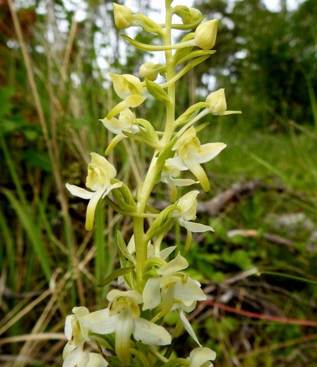 Platanthera chlorantha - keltalehdokin kukkien sikiäimet ovat särmikkäät, kierteiset ja sivulle käyristyneet. Kukkien tukilehdet ovat yleensä enintään sikiäimen mittaiset. Kukat ovat siirottavine kehälehtineen 13-20 mm leveitä. Ylimmissä kukissa näkyy hyvin noin 20 mm pitkän kannuksen malli. Se paksunee kärkiosastaan. A, Eckerö, Käringsundby, Gamla Käringsundsvägenin laitaniitty metsän reunassa, 9.7.2017. Copyright Hannu Kämäräinen.