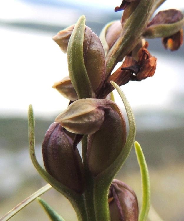Chamorchis alpina - tunturiorhon alemmat kukat alkavat kehittyä kodiksi jo siinä vaiheessa, kun ylimmät vasta ovat avautumassa. Kehälehdet jäävät lakastumattomina pitkäksi aikaa paisuvan kodan päähän. Kota on pysty, soikea, vahvasuoninen ja noin 6 mm pitkä. Se avautuu pitkittäin suonien vierestä, jolloin tunturinrinteden navakka tuuli puhaltaa sen läpi ja vie kevyet siemenet mennessään. EnL, Enontekiö, Kilpisjärvi, Saanan jyrkkä lounaisrinne, tunturipaljakkakangas, 625 m mpy, luonnonsuojelualue, 16.7.2013. Copyright Hannu Kämäräinen.