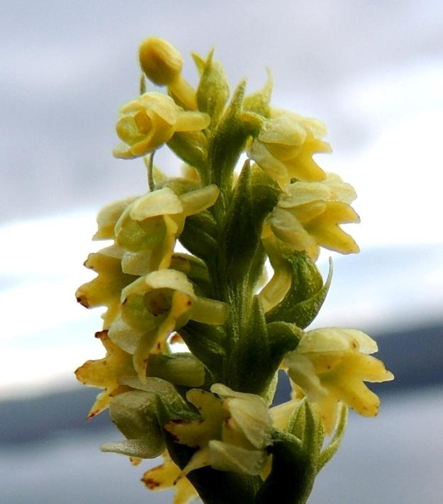 Pseudorchis straminea (P. albida subsp. straminea) - tunturivalkokämmekän kukan huulessa oleva kannus on tylppä, vähän pussimainen ja 2 mm pitkä. Se sisältää runsaasti mettä, joka yhdessä voimakkaan tuoksun kanssa edistää kukkien pölytystä. EnL, Enontekiö, Kilpisjärvi, Saanan jyrkkä lounaisrinne, tunturikoivikon yläpuolinen paljakkakangas retkeilykeskuksen ja leirintäalueen kohdalla, luonnonsuojelualue, 625 m mpy, 16.7.2013. Copyright Hannu Kämäräinen.