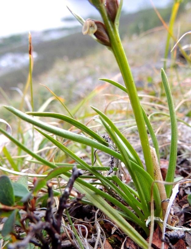 Chamorchis alpina - tunturiorhon lehdet ovat ruusukkeisesti varren alaosassa. Ne ovat tasasoukkia, kouruisia ja vain 1-2 mm leveitä sekä noin 3-8 cm pitkiä. EnL, Enontekiö, Kilpisjärvi, Saanan jyrkkä lounaisrinne, tunturipaljakkakangas, 625 m mpy, luonnonsuojelualue, 16.7.2013. Copyright Hannu Kämäräinen.