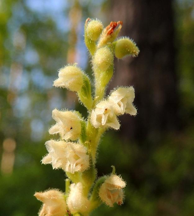 Goodyera repens - yövilkan, havuyövilkan ylemmät kukat ovat vielä pölyttämättömät. Nuput ovat pallomaiset. Kukan sikiäin on lähes perätön, soikeahko ja suonikas. EH, Hämeenlinna, Loimalahti, Alajärven pohjoispuolella oleva Sammonmäki, 24.7.2014. Copyright Hannu Kämäräinen.