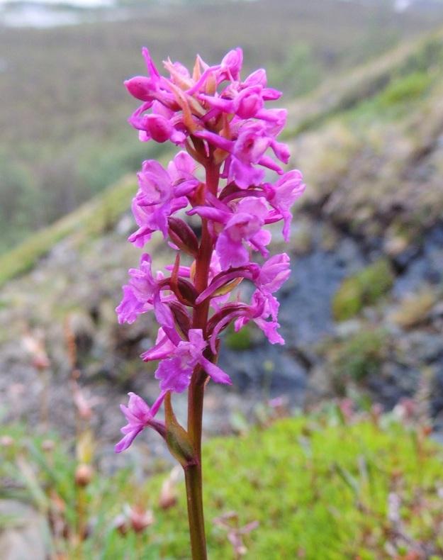 Gymnadenia conopsea subsp. alpina - punakirkiruoho subsp. lettokirkiruoho on toisinaan voimakkaan punakukkainen. Tässä yksilössä huuli on hyvin matalaan kolmiliuskainen ja keskiliuska on vähän pitempi muita. Lettokirkiruohon sikiäin on kierteinen ja noin 7 mm pitkä. Kukkien tukilehdet ovat suippokärkisiä ja pituudeltaan 10-15 mm. EnL, Enontekiö, Kilpisjärvi, Saanan jyrkkä lounaisrinne, paljakka-alue, puroputouksen vierus, 16.7.2013. Copyright Hannu Kämäräinen.