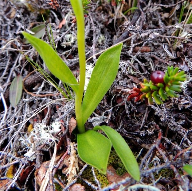Pseudorchis straminea (P. albida subsp. straminea) - tunturivalkokämmekän alemmat lehdet ovat yleensä sivulle siirottavia, vastapuikeita, terävähkökärkisiä sekä tyveltään pitkätuppisia. Pituutta niillä on enimmillään noin 5 cm. EnL, Enontekiö, Kilpisjärvi, Saanan jyrkkä lounaisrinne, tunturikoivikon yläpuolinen paljakkakangas retkeilykeskuksen ja leirintäalueen kohdalla, luonnonsuojelualue, 625 m mpy, 16.7.2013. Copyright Hannu Kämäräinen.