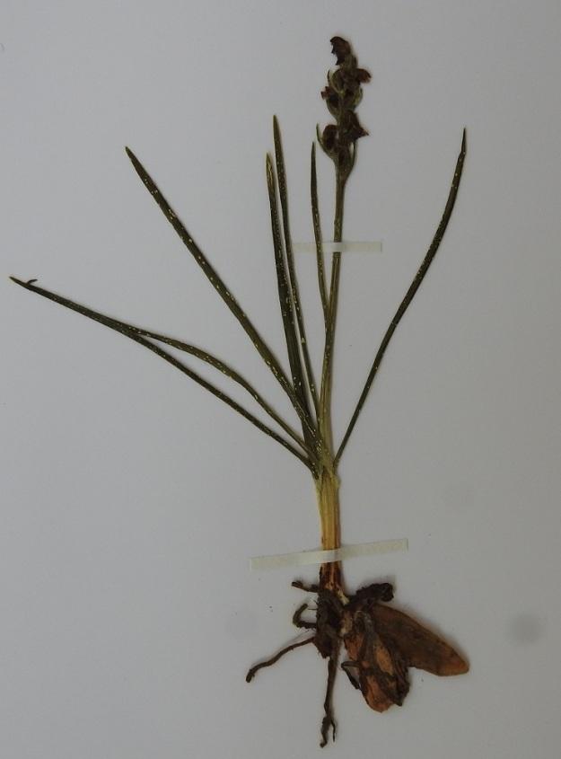 Chamorchis alpina - tunturiorhon juurimukulat ovat kasvin kokoon nähden suuret. Kuvan yksilön pituus mukuloiden ylälaidasta kukinnon latvaan on noin 10 cm. Varren tyvellä on 2-4 lavatonta, tuppimaista lehteä. Varren ruusukemainen lehtikimppu nousee ylimmän tyvilehden tupesta. Norja, Troms, Skjervøy, Hamneidet, Gjövarden-kalkkitunturi, etelärinne 240-530 m mpy, 12.7.2002. Kuva näytteestä 27.9.2019. Copyright Hannu Kämäräinen.