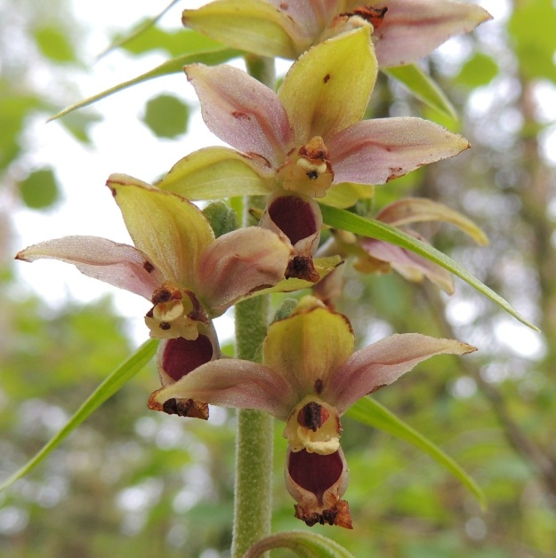 Epipactis helleborine subsp. helleborine - lehtoneidonvaippa subsp. metsäneidonvaippa edelliskuvaa hieman tummemmin värisävyin. Kukat näyttävät kuin ilmassa leijuvilta oudoilta, monisiipisiltä hyönteisiltä. Kukat ovat jo ränsistymässä ja huulen keulaosa sekä hede ovat jo kuihtuneet, mutta siitepölymyhkyt ovat silti edelleen paikoillaan. Alimmassa kukassa toinen niistä on retkahtanut omalle luotilleen. Samallakin alueella ampiaiset saattavat toisista varsista pölyttää kaikki kukat ja jättää osan varsista kokonaan huomiotta. ES, Lappeenranta, Mäntylä, Mäntylänmäki, luonnonsuojelualue, 28.7.2015. Copyright Hannu Kämäräinen.