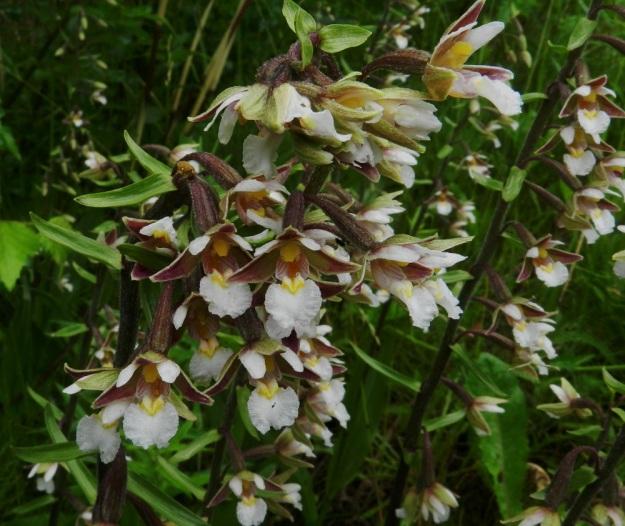 Epipactis palustris - suoneidonvaipan tulokaskasvusto on paikoin niin tiheä, että on vaikea erottaa, mitkä kukat kuuluvat mihinkin varsiin. U, Inkoo, 15.7.2012. Copyright Hannu Kämäräinen.