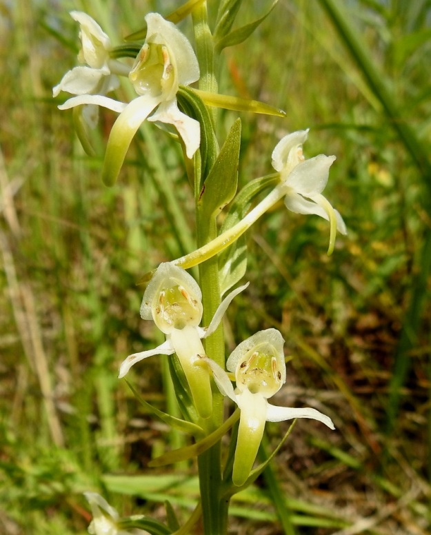 Platanthera chlorantha - keltalehdokin ja valkolehdokin, P. bifolia, yksi selkeimmistä eroista löytyy heteen ponnenpuoliskoista. Valkolehdokilla ne ovat samansuuntaiset ja aivan vierekkäiset, mutta kuvan keltalehdokilla ne ovat kuin leveässä haara-asennossa ja kaukana toisistaan. Kukkien keltaiset siitepölymyhkyt ovat vielä paikoillaan. A, Lemland, Styrsön ja Nåtön välinen Rödgrundet-saari, niittytöyräs, 12.7.2017. Copyright Hannu Kämäräinen.