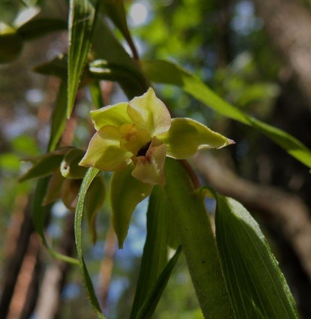 Epipactis helleborine subsp. helleborine - lehtoneidonvaippa subsp. metsäneidonvaippa voi olla myös huomaamattoman vihreäkukkainen. Vain huulessa ja sisemmissä kehälehdissä näkyy hiukan keltaista sävyä ja pientä punertavaa vivahdetta. EH, Asikkala, Kalkkinen, Kymijoen koillisrannalla oleva Virtovuori, luonnonsuojelualue, 3.7.2013. Copyright Hannu Kämäräinen.