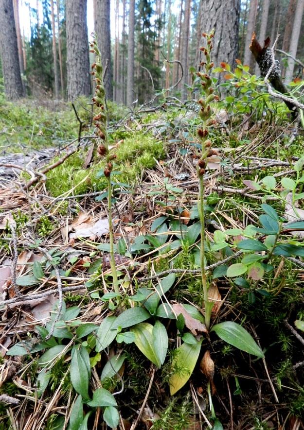 Goodyera repens - yövilkka, havuyövilkka levittäytyy vuosien saatossa ruusukkeita ja kukkavarsia sisältäväksi kasvustolaikuksi, joka on yleensä samaa yksilöä. Pölytystulos on usein lähes sataprosenttinen. Kuvan kukkavarsissakin kaikki kukat näyttävät kehittyvän hedelmäasteelle. EH, Hämeenlinna, Loimalahti, Kolkanmäki, omakotialueen eteläpuolinen metsä, 20.8.2011. Copyright Hannu Kämäräinen.