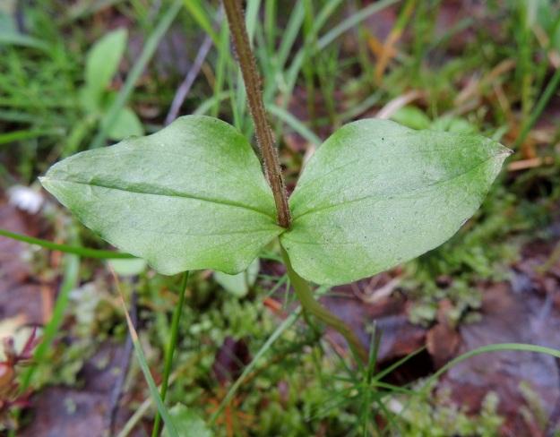 Neottia cordata (Listera cordata) - herttakaksikon varsilehdet ovat enintään noin 2,5 cm pitkiä ja 2 cm leveitä. Ne ovat vastakkaisia tai lähes vastakkaisia, pyöristyneen kolmiomaisia tai herttamaisia. Lehtien tyvi kiertyy varren ympärille. Varsi on lehtien yläpuolelta lyhytkarvainen. Kn, Puolanka, Väyrylä, Pahajärven eteläpuolella oleva luonnonsuojelualue, puronvarsikosteikko, 12.7.2015. Copyright Hannu Kämäräinen.