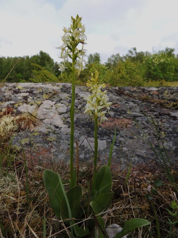 Platanthera bifolia subsp. latiflora - valkolehdokki subsp. pohjanvalkolehdokki kasvaa Ahvenanmaalla myös avoimilla kalliokedoilla. Näillä kasvupaikoilla sen kukintotähkä on usein lyhyempi ja tiheämpikukkainen sekä näyttää enemmän etelänvalkolehdokilta, subsp. bifolia kuin pohjanvalkolehdokilta. Myös kasvupaikka soveltuisi hyvin eteläiselle alalajille. Määritystulkintojen mukaan nimialalajia ei kuitenkaan esiinny Suomessa. Kuvassa kahden kukkavarren tyvellä kasvaa myös ylimääräisiä, pienempiä lehtiä. Ne ovat uusien, ryhmään kasvavien kukkavarsien taimia. A, Lemland, Herröskatan, luonnonsuojelualue, kallioketoalue, 13.6.2014. Copyright Hannu Kämäräinen.