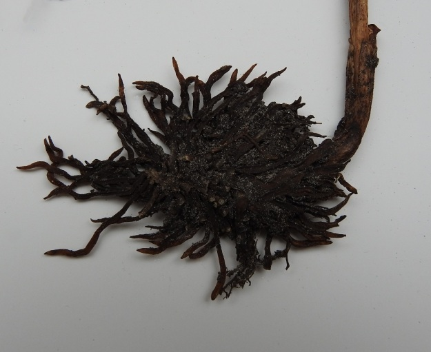 Neottia nidus-avis - linnunpesäjuuren juurakossa on tiheässä toisiinsa kietoutuneita, haarattomia, meheviä juuria. Tämä harakanpesältä näyttävä sykerö on antanut lajille niin tieteellisen kuin suomalaisenkin nimen. Kuvan juurakko on 7,5 cm leveä ja 5 cm korkea. Varren tyvellä näkyy kaksi lavatonta, tuppimaista lehteä. A, Finström, Grelsby, Säckviken, lahden länsiranta, Lillnäs, harvahko metsärinne, 19.7.1995. Kuva näytteestä 13.9.2019. Copyright Hannu Kämäräinen.