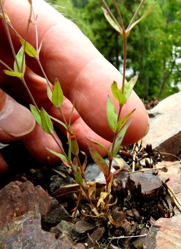 Atocion rupestre (Silene rupestris) - kalliokohokin tyvellä olevat lehdet ovat kukintavaiheessa jo kuihtuneet. Vastakkaisia varsilehtipareja on yleensä 4-6. Lehdet ovat perättömiä, vahapintaisia. kapeanpuikeita tai soikeita ja suippokärkisiä. Pituutta niillä on noin 10-25 mm. V, Lohja, Nummi-Pusula, Arimaa, Haukkamäki, luonnonsuojelualue, 27.7.2017. Copyright Hannu Kämäräinen.
