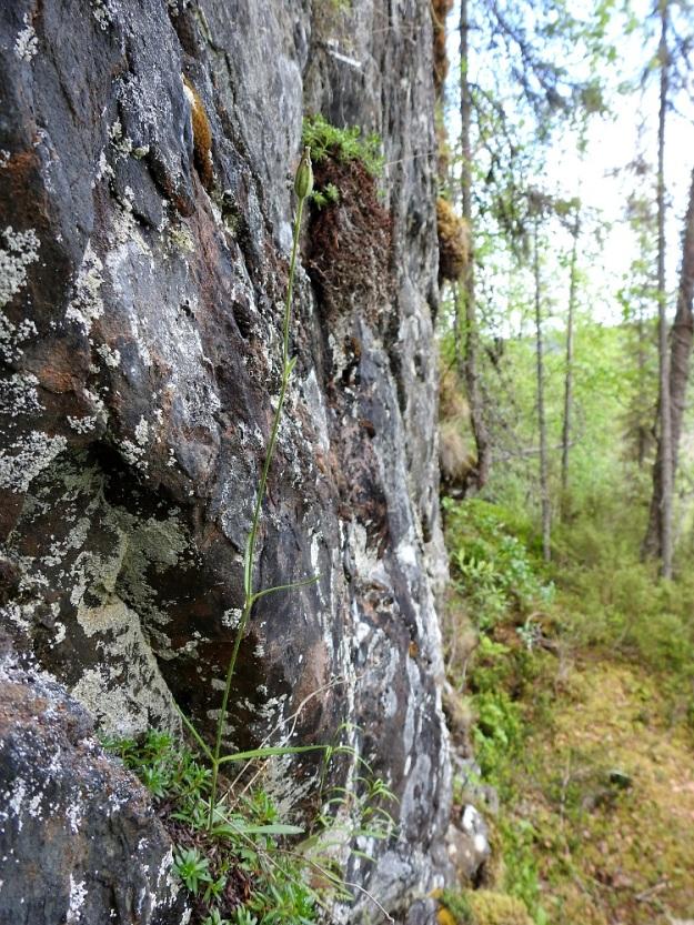 Silene involucrata subsp. tenella - kehtoailakin subsp. pohjankehtoailakin hedelmäasteella oleva, hoikka, pysty ja hieman yli 30 cm pitkä kukkavarsi kallioseinämällä. Varsilehtiparien määrä vaihtelee kasvin pituuden mukaan kahdesta neljään. Ks, Kuusamo 11.7.2019. Gopyright Hannu Kämäräinen.