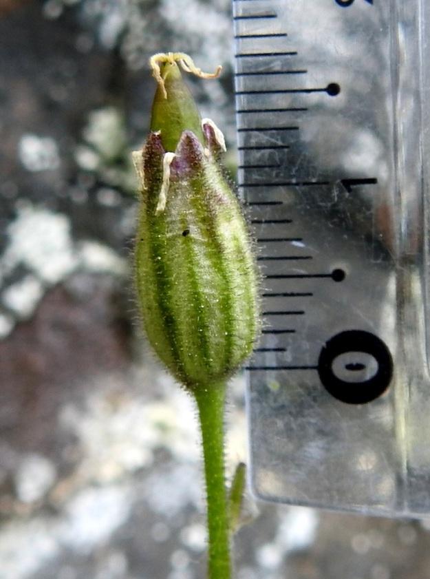 Silene involucrata subsp. tenella - kehtoailakin subsp. pohjankehtoailakin kota on 12-17 mm pitkä ja ulottuu verhiön ulkopuolelle. Viisivartaloisen emin luotit näkyvät vielä kodan kärjessä, joka myöhemmin avautuu viisiliuskaisesti. Ks, Kuusamo 11.7.2019. Gopyright Hannu Kämäräinen.