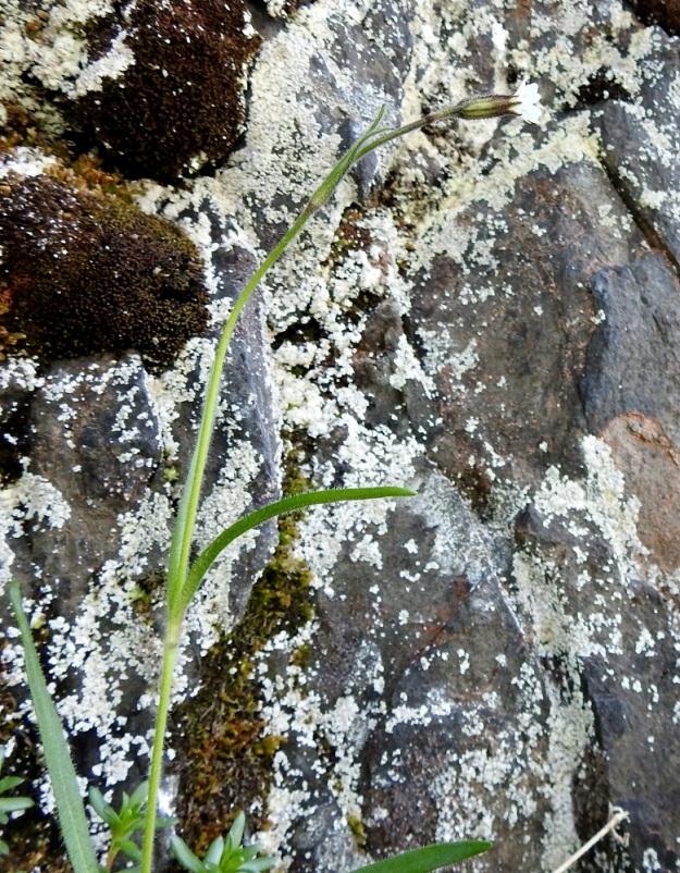 Silene involucrata subsp. tenella - kehtoailakki subsp. pohjankehtoailakki viihtyy aution ja karun näköisillä kallioseinämillä, kunhan niistä löytyy kalkkia. Se ei heikohkona kilpailijana kestäkään pitkään muiden lajien varjostusta ja umpeutunutta kasvupohjaa. Ks, Kuusamo 14.6.2019. Gopyright Hannu Kämäräinen.