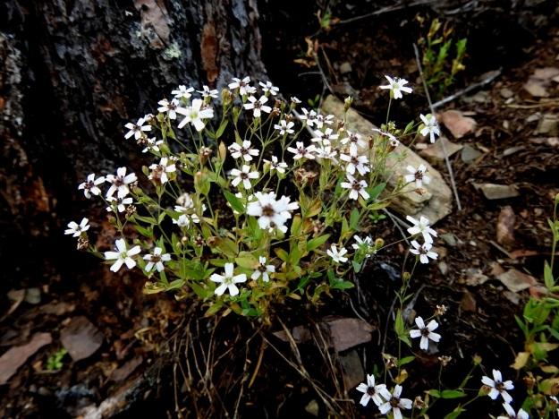 Atocion rupestre (Silene rupestris) - kalliokohokin monivuotisessa yksilössä on selvä, tanakampi pääjuuri ja varsikko on tiheää. Kuvan yksilössä jokin tuhkio-mikrosienilaji (Microbotryum) on värjännyt ison osan kukkien hetiöistä ja emiöistä ruskeiksi. Olisiko kyseessä kohokkikasveista ainakin käenkukkia ja ailakkeja vaivaava laji M. lychnidis-dioicae. V, Lohja, Nummi-Pusula, Arimaa, Haukkamäki, luonnonsuojelualue, 27.7.2017. Copyright Hannu Kämäräinen.