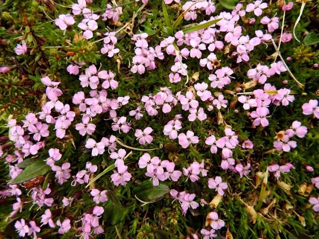 Silene acaulis - tunturikohokki on kasvutavaltaan hyvin tiivis. Sen kukat ovat väriltään eriasteisesti vaaleanpunaiset tai harvoin valkoiset. Kukat ovat kaksineuvoisia tai kuten kuvassa, pelkkiä emikukkia, joista kaartuu ulos kolme luottia. EnL, Enontekiö, Kilpisjärvi, Saana, Saanan luoteisrinne, 745 m mpy, tunturipaljakka, 5.7.2018. Copyright Hannu Kämäräinen.
