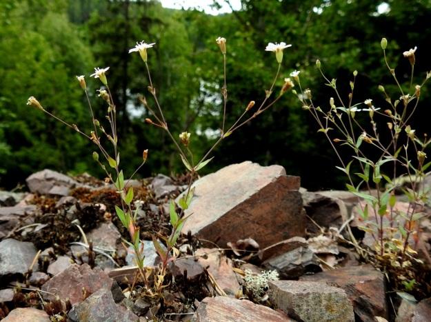 Atocion rupestre (Silene rupestris) - kalliokohokin yksivuotisessa yksilössä on enintään muutama kukkavarsi ja tyvellä ei näy vanhoja, lakastuneita varsia. Varret haarovat leveässä kulmassa puolivälistään tai sen yläpuolelta. Kukat ovat versojen kärjissä tai lehtihankaisissa haaroissa. V, Lohja, Nummi-Pusula, Arimaa, Haukkamäki, luonnonsuojelualue, 27.7.2017. Copyright Hannu Kämäräinen.