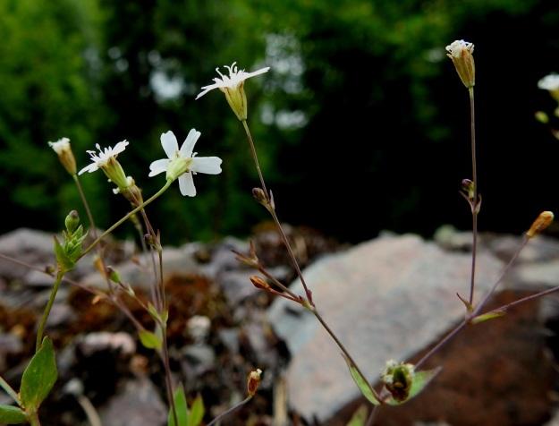 Atocion rupestre (Silene rupestris) - kalliokohokin heteet ja luotit nousevat hieman kukasta esille. Terälehdet kääntyvät jyrkästi sivulle ja lisäteriön noin 1 mm:n mittaiset lehdet ovat suoraan ylöspäin. V, Lohja, Nummi-Pusula, Arimaa, Haukkamäki, luonnonsuojelualue, 27.7.2017. Copyright Hannu Kämäräinen.
