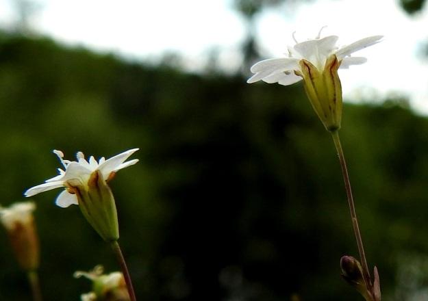 Atocion rupestre (Silene rupestris) - kalliokohokin verhiö on kapean suppilomainen sekä kärkihampaineen noin 4 mm pitkä ja 2 mm leveä. Kuvan kukissa terälehdet ulottuvat noin 3 mm verhiönhampaita pitemmälle. V, Lohja, Nummi-Pusula, Arimaa, Haukkamäki, luonnonsuojelualue, 27.7.2017. Copyright Hannu Kämäräinen.