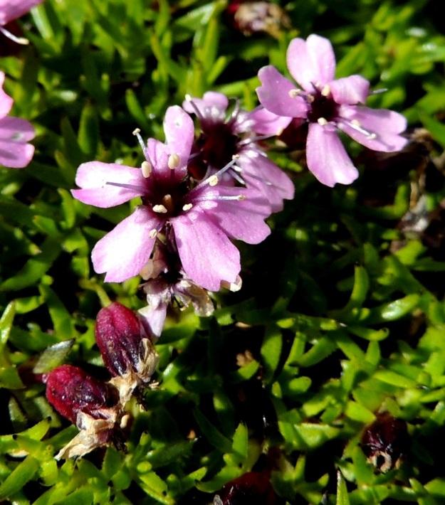 Silene acaulis - tunturikohokin heteet kehittyvät usein kahdessa erässä. Ensin viisi hedettä nousevat esiin ja kun niiden ponnet alkavat ränsistyä, nousevat loput viisi, Näin pölytys voi jatkua pitempään. Kuvan kukassa emi vielä odottaa avautumistaan. Kaksineuvoisen kukan lovi- tai lanttopäiset terälehdet ovat noin 5-6 mm verhiötä pitempiä. Pelkän emikukan vastaava mitta on noin 2-4 mm. EnL, Enontekiö, Kilpisjärvi, Saana, Saanan lakialuepaljakka, 1 015 m mpy, 17.7.2013. Copyright Hannu Kämäräinen.