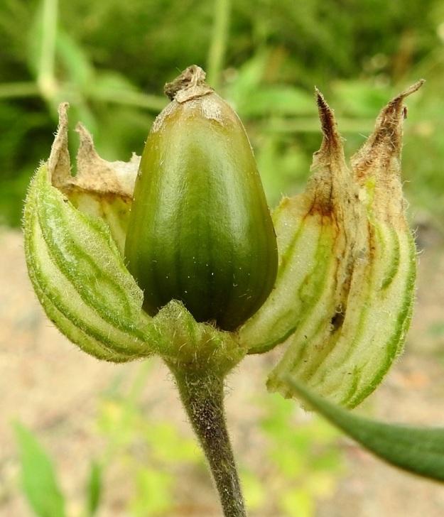 Silene latifolia ssp. alba - ilta-ailakin ssp. valkoailakin kota on munamainen tai leveän munamainen ja noin 15-20 mm pitkä. Se pysyy verhiön ympäröimänä. Kuvausta varten verhiö on rikottu. EH, Kouvola, Kuusankoski, Voikkaa, Sikomäki, Hermannintien laita 31.7.2017. Copyright Hannu Kämäräinen.