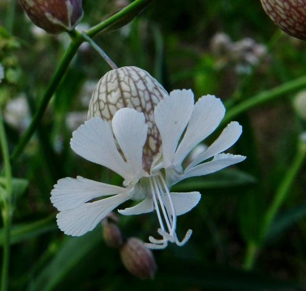 Silene vulgaris subsp. vulgaris var. vulgaris - nurmikohokki subsp. kaitanurmikohokki var. ahonurmikohokki palkitsee tarkkaavaisen havainnoijansa muuntelun lisäksi myös pienillä erikoisuuksilla. Kasvioppaiden mukaan kohokkien suvun emiö on 3- tai 5-luottinen ja nurmikohokilla luotteja on kolme. Kuvan emikukassa luotteja on kuitenkin selvästi neljä. Tällä kasvupaikalla oli muitakin 4-luottisia kukkia. Niitä näkee tarkkaan katsoen myös muualla kuvasarjassa. EH, Hattula, Parola, Alppilanmäki, Hattulantien laitaruohikko, 25.7.2011. Copyright Hannu Kämäräinen.