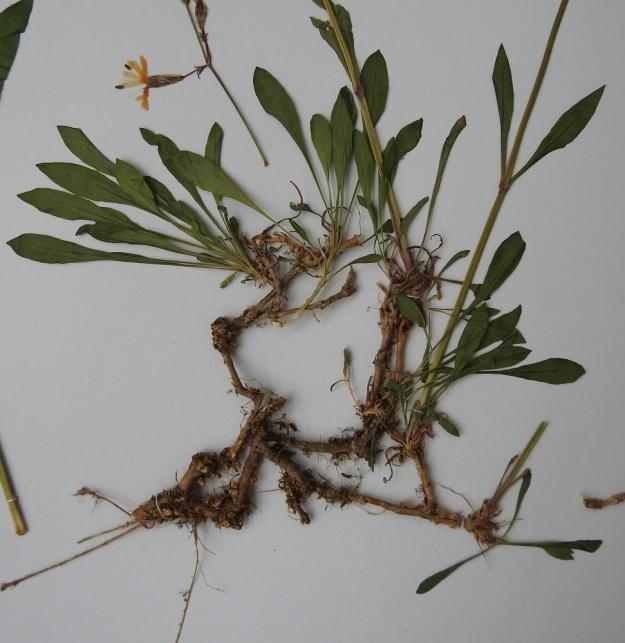 Silene nutans - nuokkukohokin juurakko on yläpäästään haarova. Haarojen kärjistä kasvavat lehtiruusukkeet ja kukkavarret. Kuvan yksilö on muuten kalju, mutta nystykarvoja on jonkin verran kukintoperissä ja verhiöissä. Kyseessä on näin ollen kaljunuokkukohokki, var. infracta tai muunnosten välimuoto. U, Porvoo, Vanha Porvoo, Linnanmäen männikköä kasvavat rinteet, 18.6.1988. Kuva näytteestä 25.11.2019. Copyright Hannu Kämäräinen.