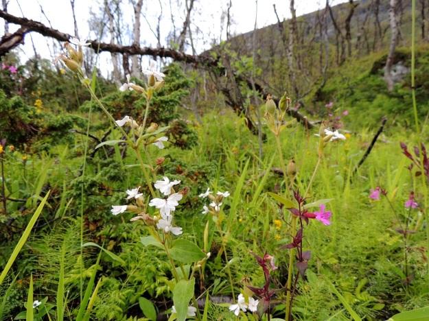 Silene dioica - puna-ailakki voi hyvin harvoin olla suomalaisesta nimestään poiketen myös valkokukkainen (f. lacteum). Tällaiset kasvit ovat yleensä muutenkin punakukkaisia lajitovereitaan vaaleampia. EnL, Enontekiö, Kilpisjärvi, retkeilykeskuksen pohjoispuolinen tunturikoivikko, 520 m mpy, 19.7.2013. Copyright Hannu Kämäräinen.