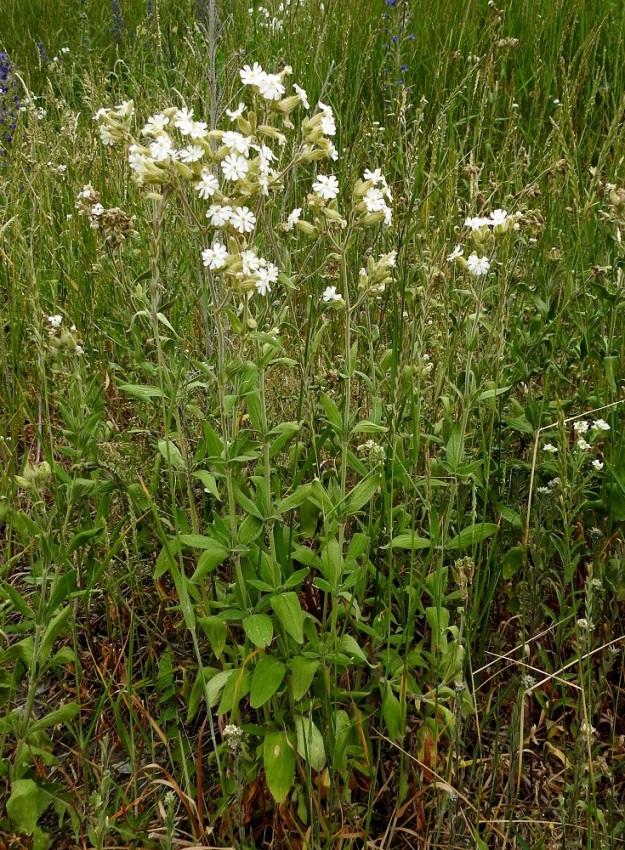 Silene latifolia ssp. alba - ilta-ailakin ssp. valkoailakin kasvutapa on yleensä pysty. Juurakostaan haarova yksilö voi tuottaa lukuisankin varsijoukon, jonka korkeus on noin 40-100 cm. Tyvelle ei yleensä kasva ruusukelehtiä. Varsilehtipareja on noin 6-8. V, Naantali, satama, ratapiha- ja viljavarastoalue, 26.6.2019. Copyright Hannu Kämäräinen.