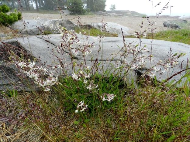 Silene nutans - nuokkukohokki on kasvutavaltaan usein tyviosastaan koheneva. U, Hanko, Kolavikenin uimaranta-alue, 19.6.2012. Copyright Hannu Kämäräinen.