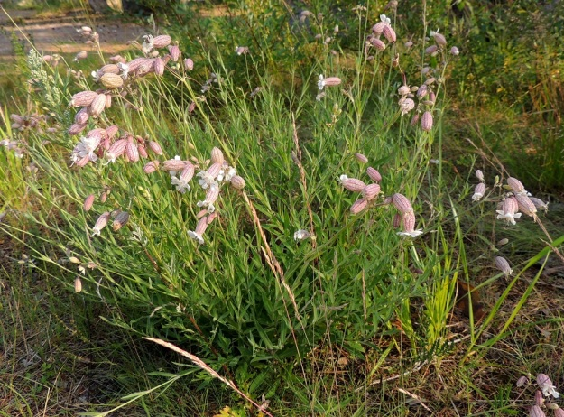 Silene vulgaris subsp. vulgaris var. litoralis - nurmikohokki subsp. kaitanurmikohokki var. suomenlahdennurmikohokki on tavallisesti noin 20-50 cm korkea ja tiheälehtinen. Sen värisävy on vaaleansinivihreä ja yleensä vaaleampi kuin ahonurmikohokilla, var. vulgaris. U, Helsinki, Kallahti, Kallahdenniemi, laaja, hiekkainen merenranta-alue, 8.7.2013. Copyright Hannu Kämäräinen.