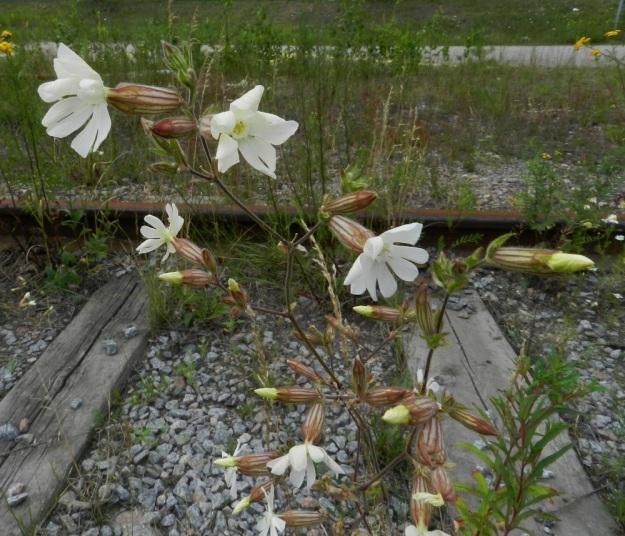 Silene latifolia ssp. alba - ilta-ailakin ssp. valkoailakin kasvutapa näyttää edellisiä kuvia harsummalta ja rennommalta tällä ratasepelillä olevalla kasvupaikalla. Myös kukat ovat selvästi isommat. Niiden koko vaihteleekin suuresti läpimitan ollessa noin 25-40 mm. EH, Lahti, ratapiha-alue entisen tavara-aseman länsipuolella, 19.7.2011. Copyright Hannu Kämäräinen.
