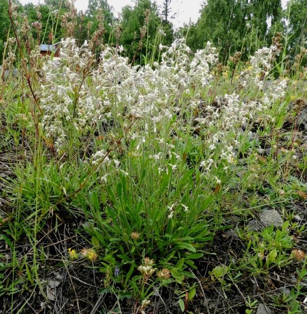 Silene nutans - nuokkukohokki kasvaa myös ihmisen muokkaamilla kasvupaikoilla, kuten tienpientareilla ja ratapenkereillä. Yläpäästään haarova juurakko voi kasvattaa tiheänkin varsijoukon, joka kuvassa on varsin pysty. Seuralaislajeina ovat mäkitervakko, Viscaria vulgaris ja ketomasmalo, Anthyllis vulneraria subsp. vulneraria. EH, Hämeenlinna, Sairio Vanajaveden ranta, ratapenger, 25.6.2011. Copyright Hannu Kämäräinen.