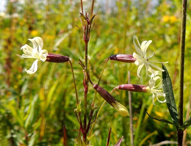 Silene tatarica - tataarikohokin kukkaperät ovat yleensä 10-15 mm pitkiä ja toisinaan hapsikarvaisia, kuten kuvan yksilössä. Kukan verhiö on kapean kellomainen, vihertävä tai sinipunainen ja kärkihampaineen noin 10-13 mm pitkä. Sen 10 suonta eivät ole aina kovin selvästi erotettavissa. EH, Kouvola, Ruotsula, Koriansuoran ja radan eteläpuolella kulkeva Läntisen ratatien laide, 13.7.2016. Copyright Hannu Kämäräinen.