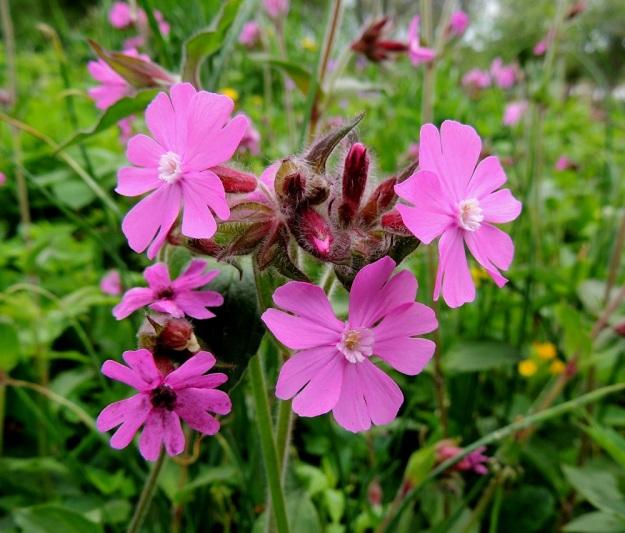Silene dioica - puna-ailakin nimensä mukainen teriö on läpimitaltaan yleensä 20-30 mm leveä. Kuvan hedekukkien lisäteriö on terälehtien tavoin viisilehtinen ja syvään kaksihalkoinen, valkoinen ja noin 2 mm pitkä. Kuvan vasemman alalaidan kukkia vaivaa tuhkio-mikrosienilaji Microbotryum lychnidis-dioicae. A, Lemland, eteläpää, Björkö, Herröskatan, 1.6.2013. Copyright Hannu Kämäräinen.