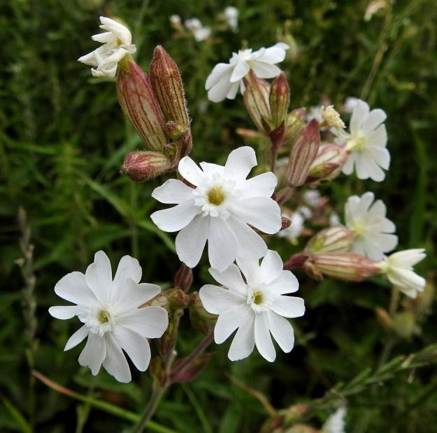 Silene latifolia ssp. alba - ilta-ailakki ssp. valkoailakki on kaksikotinen kasvi eli sen hede- ja emikukat sijaitsevat eri kasviyksilöissä Kuvan hedekukkien verhiöt ovat kapean kellomaisia ja noin 10-suonisia. Taksonin verhiöt ovat lyhytkarvaisia ja myös nystykarvaisia. Niiden väritys vaihtelee samallakin kasvupaikalla vihreästä tummanpunertavaan. V, Naantali, satama, ratapiha- ja viljavarastoalue, 26.6.2019. Copyright Hannu Kämäräinen.