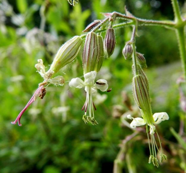 Silene nutans - nuokkukohokin kukat ovat tavallisesti kaksineuvoisia. Emin luotteja on 3 ja heteitä 10, joista pölytyksen pitkittämiseksi kypsyy yleensä ensin puolet ja niiden kuihduttua toinen puoli. Itsepölytyksen estämiseksi luotit useimmiten kasvavat toimiviksi vasta heteiden kuihduttua. Kuvassa on kolme erivaiheista kukkaa: Vasemmanpuoleisessa molemmat hedesatsit ovat kuihtuneet ja luotit ovat valmiina esillä. Keskimmäisessä kukassa ensimmäinen hedejoukko on kuihtunut ja vihreäponsiset heteet ovat valmiina pölytykseen. Emin luotit ovat vasta kasvamassa. Oikeanpuolimmaisessa kukassa vasta ensimmäinen hederyhmä on esillä ja toinen teriön suulla eikä luotteja ole näkyvissä. EH, Hämeenlinna, Keinusaari Varikonniemi, radanvarsi, 25.6.2011. Copyright Hannu Kämäräinen.