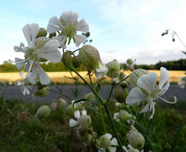 Silene vulgaris subsp. vulgaris var. vulgaris - nurmikohokki subsp. kaitanurmikohokki var. ahonurmikohokki on yksikotinen, mutta sen samassa yksilössä ja kukintohaarassakin on usein sekaisin kaksineuvoisia kukkia ja pelkkiä emikukkia. Ylimpänä on kaksineuvoinen kukka, jonka vihreäponsiset heteet ovat vasta kehittymässä. Vasemmalla ja oikealla on pelkkä emikukka. Terälehtien syväjakoiset kärkiliuskat yleensä levenevät voimakkaasti kärkeään kohti. EH, Hattula, Parola, Alppilanmäki, Hattulantien laitaruohikko, 25.7.2011. Copyright Hannu Kämäräinen.