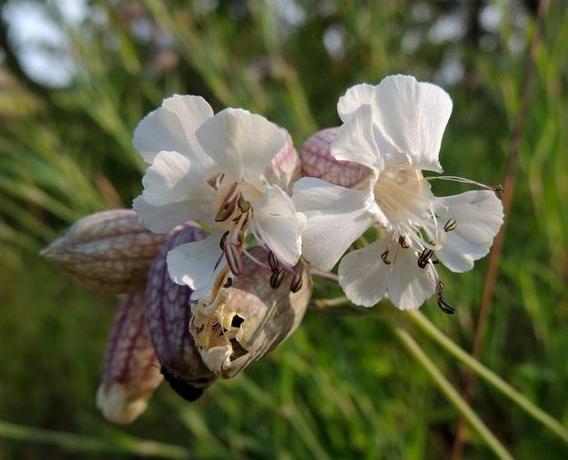 Silene vulgaris subsp. vulgaris var. litoralis - nurmikohokki subsp. kaitanurmikohokki var. suomenlahdennurmikohokki eroaa ahonurmikohokista, var. vulgaris, terälehtien muodoltaan. Ahonurmikohokilla terälehtien kärkiosa on leveästi kaksijakoinen, kun taas suomenlahdennurmikohokilla kärki on ahtaasti halkoinen ja liuskat ovat usein vähän limittäiset. Oikeanpuolimmaisessa kukassa näkyy teriön suulla selvästi heikko, risalaitainen lisäteriö. U, Helsinki, Kallahti, Kallahdenniemi, laaja, hiekkainen merenranta-alue, 8.7.2013. Copyright Hannu Kämäräinen.