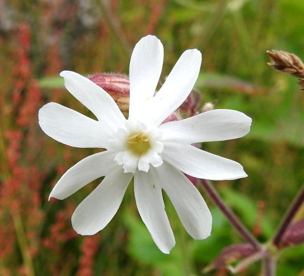 Silene latifolia ssp. alba - ilta-ailakin ssp. valkoailakin sivulle kaartuva kärkiosa on noin 8-15 mm pitkä ja syvään kaksihalkoinen. Kukassa on lisäteriö, joka on noin 1,5-3 mm pitkä. Myös sen lehdet ovat päästään kaksihalkoiset. EH, Kouvola, Kuusankoski, Voikkaa, Sikomäki, Hermannintien laita 31.7.2017. Copyright Hannu Kämäräinen.