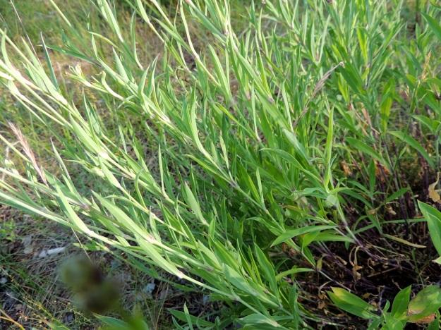 Silene vulgaris subsp. vulgaris var. litoralis - nurmikohokki subsp. kaitanurmikohokki var. suomenlahdennurmikohokki poikkeaa ahonurmikohokista, var. vulgaris, myös lehtiensä puolesta, jotka ovat kapeanpuikeita, suikeita tai lähes tasasoukkia. Ahonurmikohokin lehdet ovat leveämuotoisempia. U, Helsinki, Kallahti, Kallahdenniemi, laaja, hiekkainen merenranta-alue, 8.7.2013. Copyright Hannu Kämäräinen.