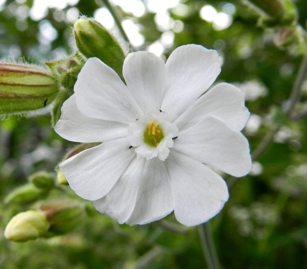 Silene latifolia ssp. alba - ilta-ailakin ssp. valkoailakin terälehtien muoto vaihtelee jossain määrin. Edelliseen kuvaan verrattuna tämän kuvan hedekukan terälehdet ovat leveämpiä ja ahtautuneet sen vuoksi lomittain. Terälehden kärkiliuskojen leveys vaihteleekin välillä 3-6 mm. EH, Hämeenlinna, Keinusaari, radanvarsi Viipurintien sillan kaakkoispuolella, 16.7.2011. Copyright Hannu Kämäräinen.