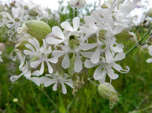 Silene vulgaris subsp. vulgaris var. vulgaris - nurmikohokki subsp. kaitanurmikohokki var. ahonurmikohokki on kukkateriön nielultaan hyvin väljä. Kuvan keskimmäisestä kukasta näkyy hyvin terälehtien rakenne. Niiden kokonaispituus on 15-25 mm. Kapeneva tyviosa yltää syvälle nieluun. Terälehden laajenneesta keskiosasta lähtee lähes tyveen saakka kaksiliuskainen eli kaksijakoinen kärkiosa. Lisäteriötä on lähikuvastakin mahdoton erottaa, joten se ehkä puuttuu kokonaan kuvan kukista. EH, Hämeenlinna, Majalahti, Louhoksentien varren maankaatopaikka, 8.7.2012. Copyright Hannu Kämäräinen.