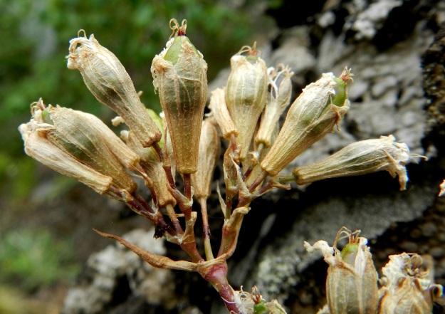 Viscaria vulgaris (Lychnis viscaria) - mäkitervakon kota on munamainen ja noin 6-9 mm pitkä. Se jää kokonaan verhiön sisään, mutta paljastuu, kun verhiö lakastuu ja rapistuu. Kuvassa hedelmysten kärjissä näkyvät vielä emin luotit. EH, Hämeenlinna, Luhtiala, Aulangonjärven koillisranta, Levonkallio, järveen laskeva, korkea, jyrkkä kalliorinne, 23.6.2012. Copyright Hannu Kämäräinen.