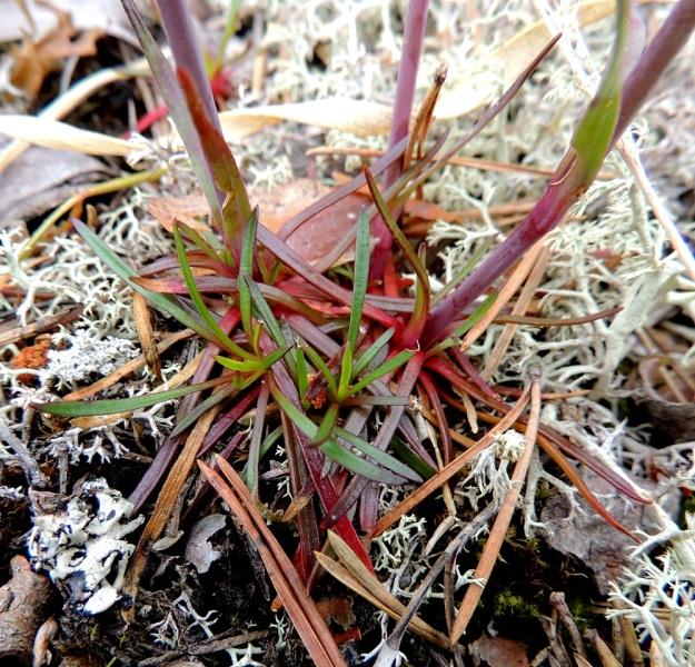 Viscaria alpina (Lychnis alpina) var. serpentinicola - pikkutervakko var. serpentiinipikkutervakko ei nimimuunnoksen tavoin yleensä kasvata tiiviitä ja iän myötä laajenevia ruusukeryhmiä. Ruusukelehdet ovat noin 1-4 cm pitkiä ja vain 0,5-2 mm leveitä. Malliltaan ne ovat tasasoukan neulasmaisia ja muistuttavat muodoltaan kuvassa näkyviä männynneulasia. Kn, Paltamo, Mieslahti, Talolanmäki, Oulujärven Pitkäperän itärannalla oleva Matokallio, 11.7.2015. Copyright Hannu Kämäräinen.